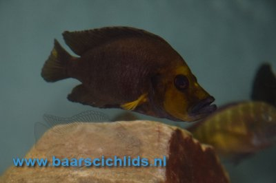 "Altholamprologus Compressiceps Gold head ""Muzi"""