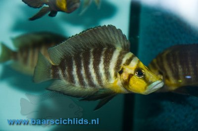 "Altholamprologus Compressiceps goldhead ""kasanga"""