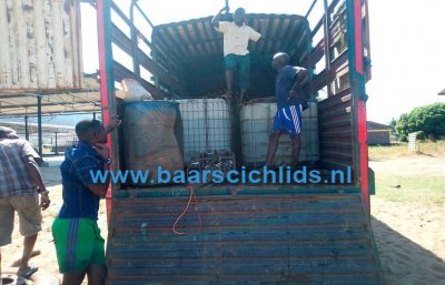 Transport of cichlids to Dar es Salaam